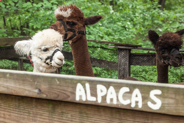 Adorable Alpacas