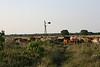 CattleAroundWindmillMMW5081