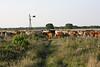CattleAroundWindmillMMW5082