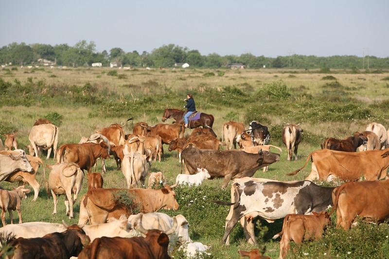 CattleHerdCamilleMMW508