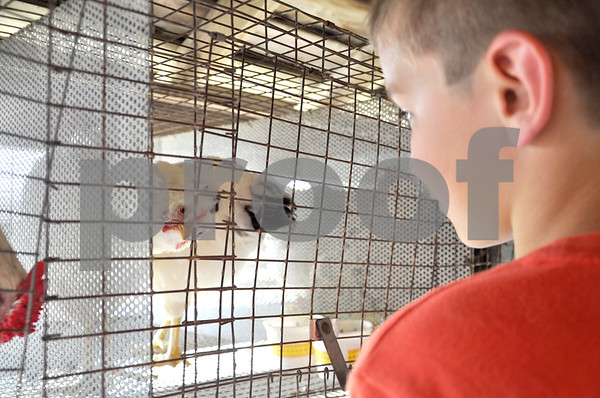 -Messenger photo by Emilie Nelson <br /> <br /> Blake Peterson, 9, of Callender, gets an up-close look at a pen of chickens raised by Allie Lansman, of the Elkhorn Earlybirds 4-H Club in the poultry barn at the Webster County Fair Thursday afternoon.