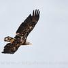 WVL_Bald Eagle_9S7O3293