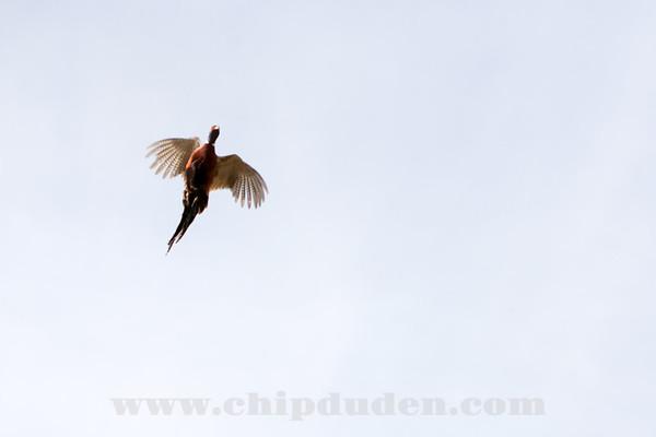 WVL_ConAgra_9S7O8907   The Teflon Pheasant flew across a line of four guns.  Twice....