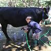 Middlesex County 4-H Fair. Wyatt Gates, 6, of Townsend, washes Kai, an Angus cow. (SUN/Julia Malakie)