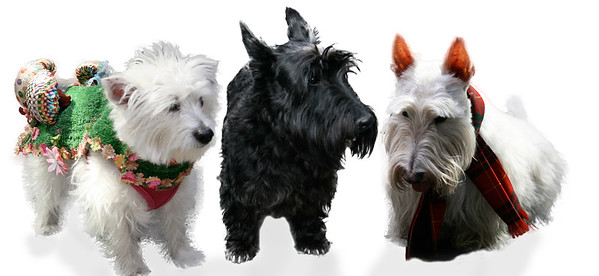 My favories Westies & Scotties, from the Taritan day Parade in Manhattan.