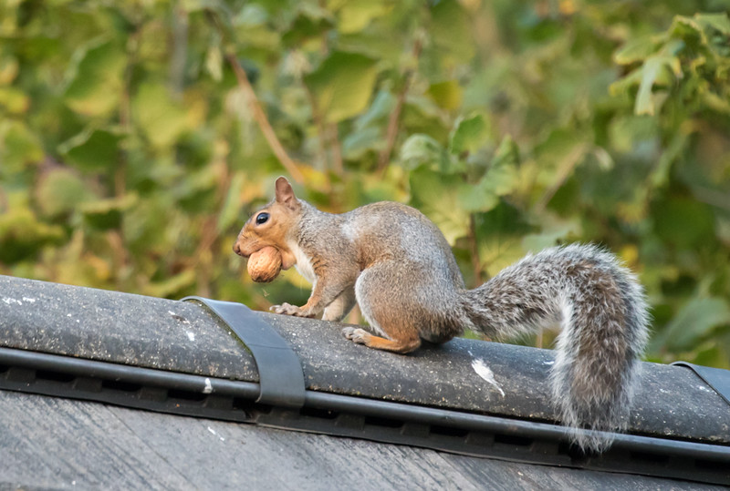 20 October 2015: Grey squirrel on garage roof with walnut