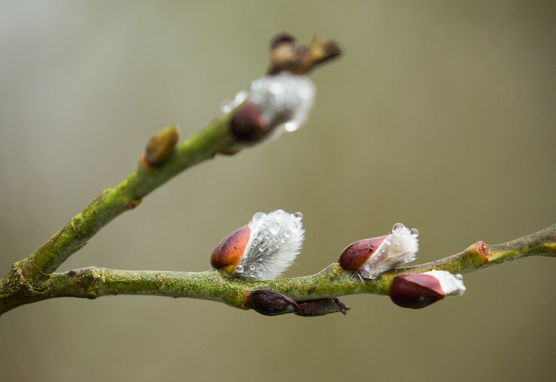 27 Feb 2017: Rain drops on pussy willow