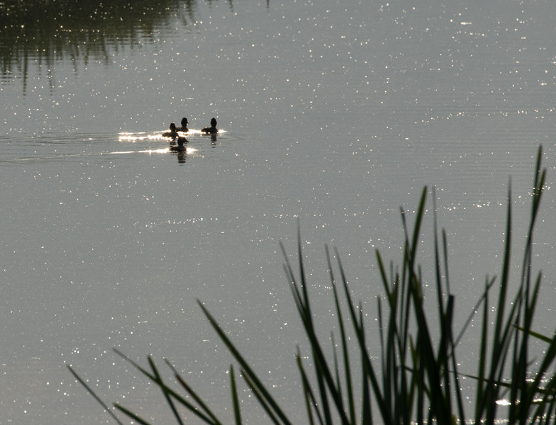 9 August 2015: Sunlit ducks and reeds on the River Great Ouse