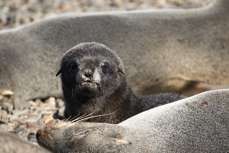 17 December 2015 - A southern fur seal pup looking over his sleeping mother on the beach in front of the BAS base at Bird Island, South Georgia