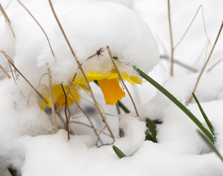 Daffodils under the snow