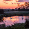 10 May 2015 - Swans on River Great Ouse at sunrise