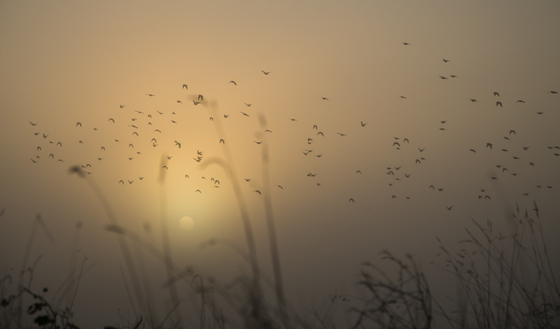 Flocks of birds leave their roosts as the sun breaks through the mist on the River Great Ouse near Cambridge