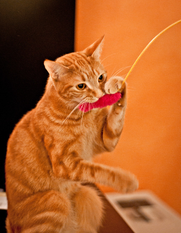 """Took some photos to add to the 10/10/10 Flickr group. Since we didn't go anywhere particularly interesting (lazy Sunday), I thought the cats playing with one of their favorite toys would be a good subject for such an """"auspicious"""" day. :)"""