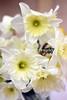 7_daffodil_041020