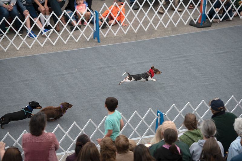 Matthew Gaston | The Sheridan Press<br>Oakley (red scarf) won her first heat during the wiener dog races at Black Tooth Brewing with ease Tuesday, June 11, 2019.