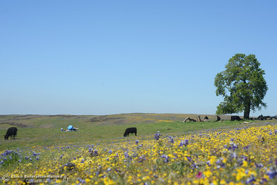 Table Mountain wildflowers Saturday, April 2, 2016, during the Wildflower Festival in Oroville, California. (Dan Reidel -- Enterprise-Record)