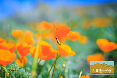 Wildflowering in Carrizo Plains