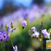 Wildflowering_019
