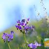 Wildflowering_020