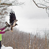 Record-Eagle/Jan-Michael Stump<br /> Rebecca Lessard of Wings of Wonder released a rehabilitated juvenile bald eagle back into the wild on Monday morning at Inspiration Point overlooking Glen Lake. The female bird, nearly a year old, was found near Marquette suffering from what was believed to be West Nile Virus. Lessard rehabilitated the raptor for over 4 months before releasing it outside Glen Lake Schools in Maple City, then later at Inspiration Point when the bird didn't fly to a perch high enough to take off again.