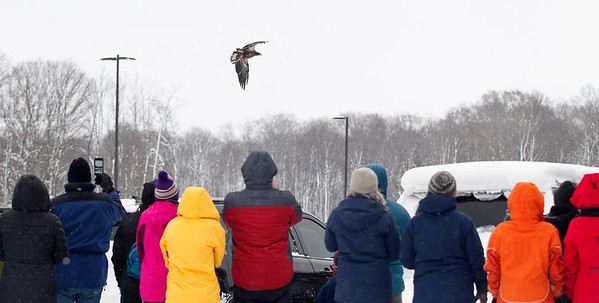 Record-Eagle/Jan-Michael Stump<br /> A crowd watches as a rehabilitated juvenile bald eagle is released back into the wild on Monday morning by Rebecca Lessard of Wings of Wonder. The female bird, nearly a year old, was found near Marquette suffering from what was believed to be West Nile Virus. Lessard rehabilitated the raptor for over 4 months before releasing it outside Glen Lake Schools in Maple City, then later at Inspiration Point overlooking Glen Lake when the bird didn't fly to a perch high enough to take off again.