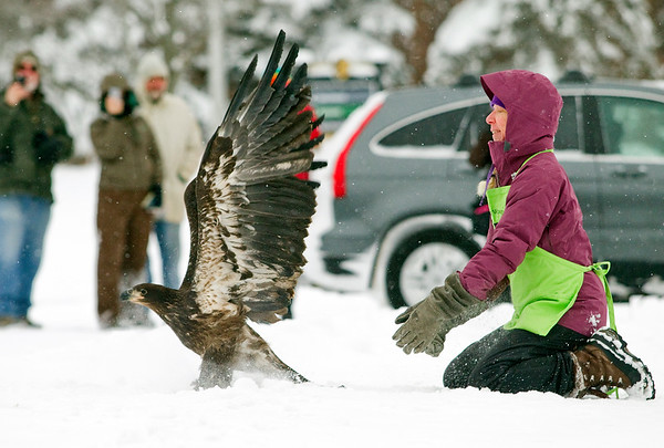 Record-Eagle/Jan-Michael Stump<br /> Rebecca Lessard of Wings of Wonder released a rehabilitated juvenile bald eagle back into the wild on Monday morning. The female bird, nearly a year old, was found near Marquette suffering from what was believed to be West Nile Virus. Lessard rehabilitated the raptor for over 4 months before releasing it outside Glen Lake Schools in Maple City, then later at Inspiration Point overlooking Glen Lake when the bird didn't fly to a perch high enough to take off again.