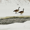 0110 chilly geese