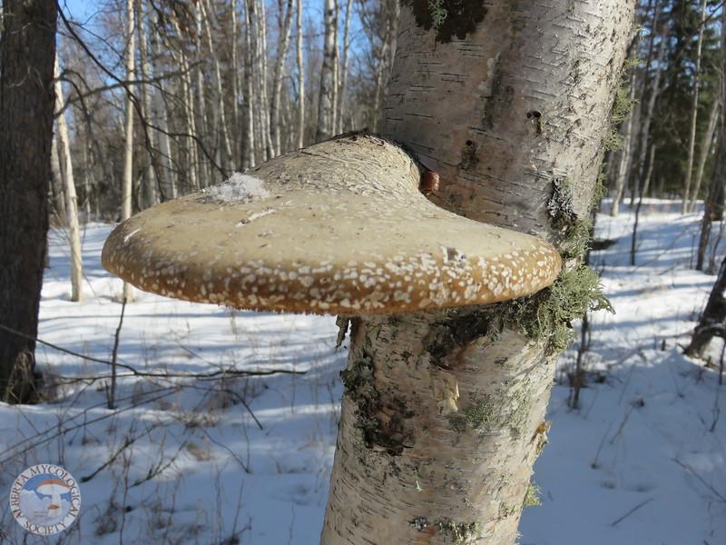 Piptoporus betulinus on birch