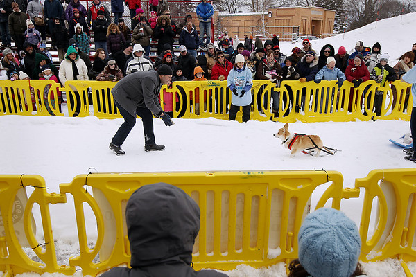 Record-Eagle/Keith King<br /> Ed Galindo, of Traverse City, tries to coax his Pembroke Welsh corgi, Hugh, in the Monster Dog Pull competition Saturday, February 18, 2012 during the Cherry Capital Winter WowFest in Traverse City.