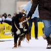 Record-Eagle/Keith King<br /> Karly Wentzloff, of Acme, runs with a treat that was provided by D.O.G. Bakery during registration, to motivate Stout, her Bernese Mountain Dog as the Monster Dog Pull competition takes place Saturday, February 18, 2012 during the Cherry Capital Winter WowFest.