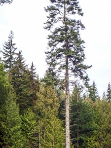 Single tree retention, note forked top