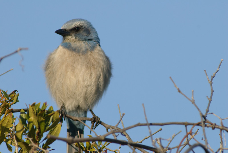 Photos From the Milton Hieberg Field-trip at The 2009 Space Coast Birding & Wildlife Festival - Florida Scrub-Jay
