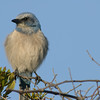 Photos From the Milton Hieberg Field-trip at The 2009 Space Coast Birding & Wildlife Festival - Florida Scrub-Jay