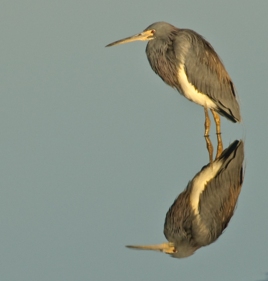 Photos From the Artie Morris Field-trip at The 2009 Space Coast Birding & Wildlife Festival - Tricolored Heron reflection