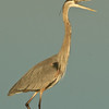 Photos From the Artie Morris Field-trip at The 2009 Space Coast Birding & Wildlife Festival - Great Blue Heron sounding-off