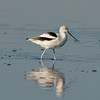 Photos From the Milton Hieberg Field-trip at The 2009 Space Coast Birding & Wildlife Festival - American  Avocet