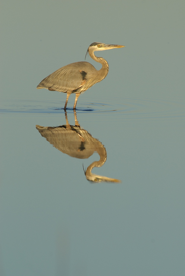 Photos From the Artie Morris Field-trip at The 2009 Space Coast Birding & Wildlife Festival - Great Blue Heron reflection