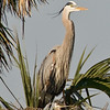Great Blue Heron with its chick