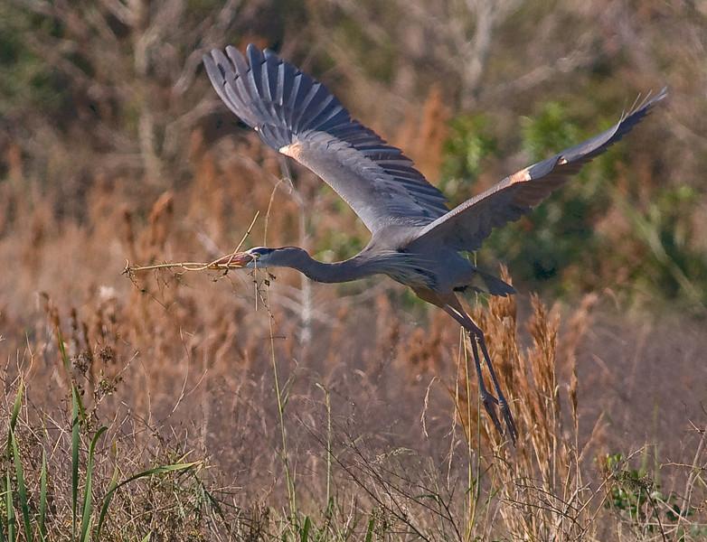 Great Blue Heron - In Flight