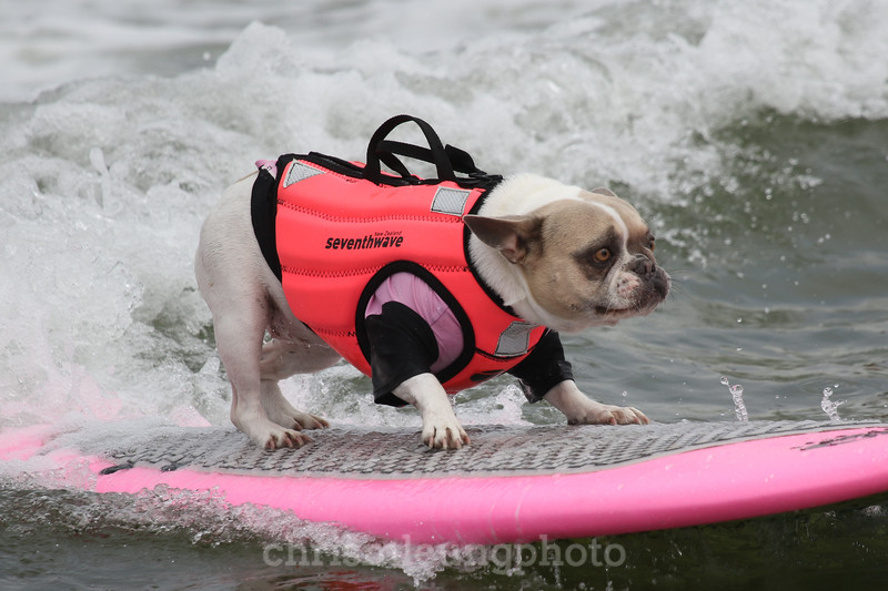 8/5/17: Cherie the Surf Dog at the 2017 World Dog Surfing Championships at Pacifica State Beach in Pacifica, Ca by Chris M. Leung