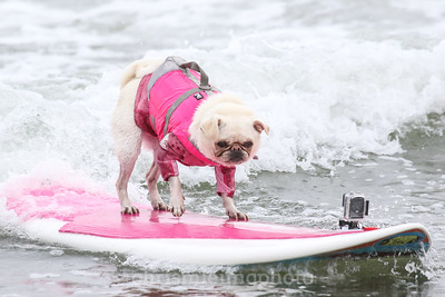 8/5/17: Gidget the Surfing Pug at the 2017 World Dog Surfing Championships at Pacifica State Beach in Pacifica, Ca by Chris M. Leung