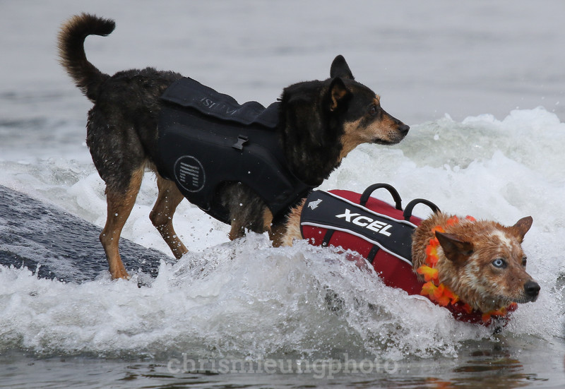 8/5/17: Surf Dogs Abbie and Skyler ride together at the 2017 World Dog Surfing Championships at Pacifica State Beach in Pacifica, Ca by Chris M. Leung