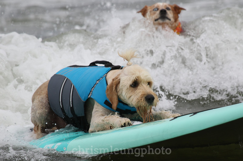 8/5/17: Teddy rides one in at the 2017 World Dog Surfing Championships at Pacifica State Beach in Pacifica, Ca by Chris M. Leung