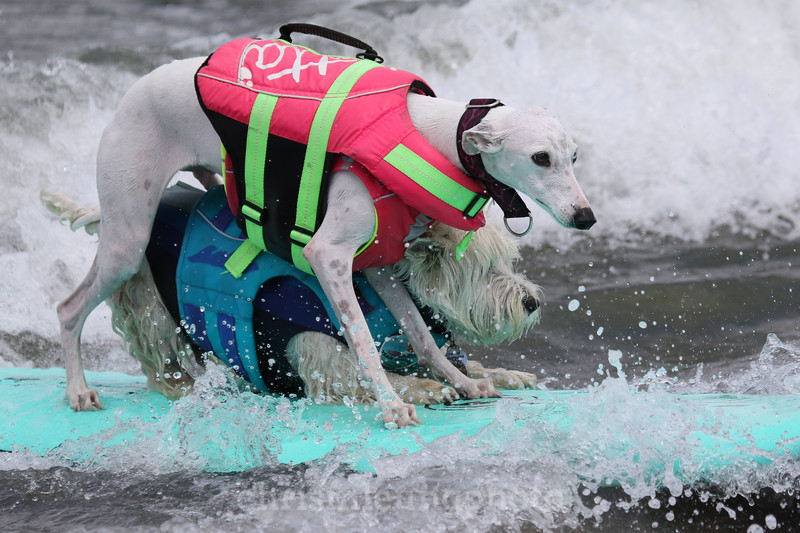 8/5/17: Beans and Tristan ride in together during the 2017 World Dog Surfing Championships at Pacifica State Beach in Pacifica, Ca by Chris M. Leung