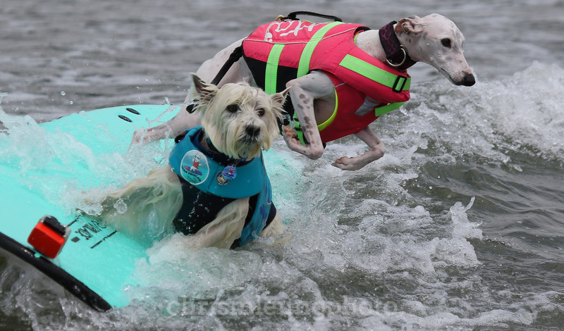 8/5/17: Tristan and Beans riding in together during the 2017 World Dog Surfing Championships at Pacifica State Beach in Pacifica, Ca by Chris M. Leung