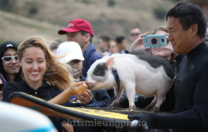 8/5/17: PIckles the Pig on her way out to ride a wave in at the 2017 World Dog Surfing Championships at Pacifica State Beach in Pacifica, Ca by Chris M. Leung