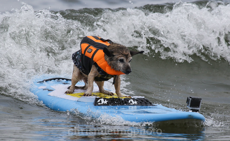 8/5/17: Kihei rides one in during the 2017 World Dog Surfing Championships at Pacifica State Beach in Pacifica, Ca by Chris M. Leung
