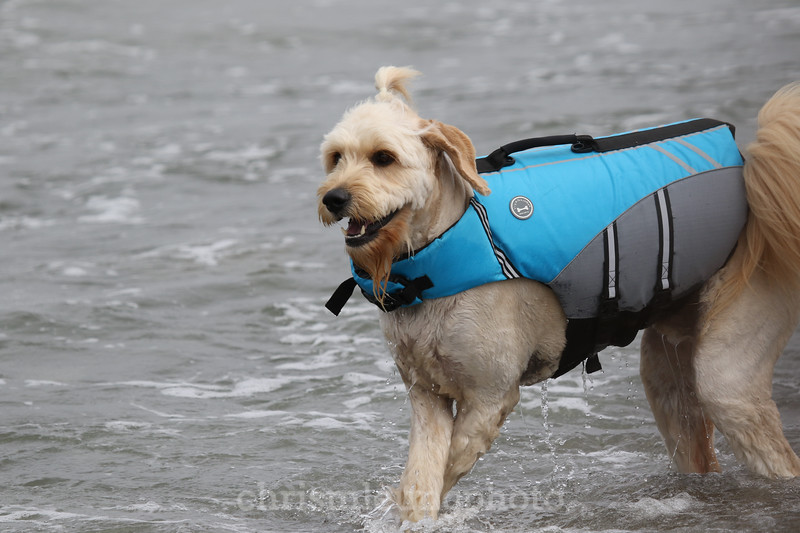 8/5/17: Teddy at the 2017 World Dog Surfing Championships at Pacifica State Beach in Pacifica, Ca by Chris M. Leung