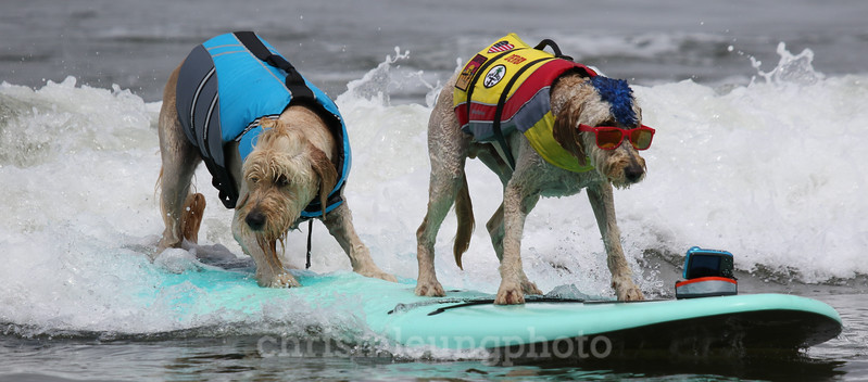 8/5/17: Teddy and Derby ride one in together during the 2017 World Dog Surfing Championships at Pacifica State Beach in Pacifica, Ca by Chris M. Leung