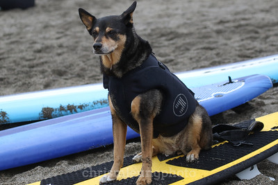 8/5/17: Abbie the Surf Dog at the 2017 World Dog Surfing Championships at Pacifica State Beach in Pacifica, Ca by Chris M. Leung